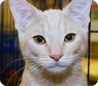 Domestic Shorthair Kitten for adoption in Irvine, California - Vizzini