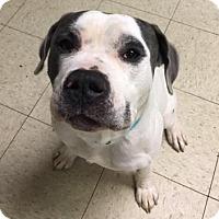 Adopt A Pet :: Blitzen- Ohio - Fulton, MO