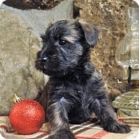 Adopt A Pet :: Cooper - Kirkland, QC