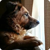 Adopt A Pet :: Brit - Clarksville, TN