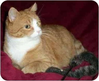 Domestic Shorthair Cat for adoption in Spencer, New York - Sir Morgan
