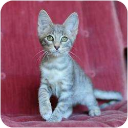 Domestic Shorthair Kitten for adoption in Ft. Lauderdale, Florida - Cassius