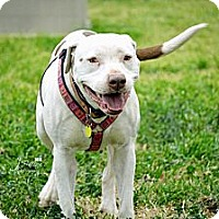 Adopt A Pet :: STELLA - Colleyville, TX