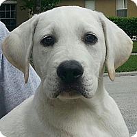 Adopt A Pet :: Tayla#1M (Marley) - Orlando, FL