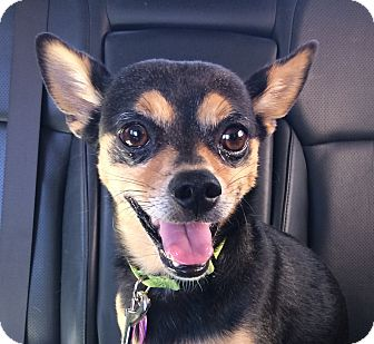 Chihuahua Mix Dog for adoption in Glendale, California - Lance