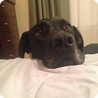Adopt A Pet :: Gromit - Homewood, AL
