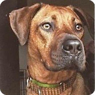 Rhodesian Ridgeback Dog for adoption in Dallas, Texas - Chaplin