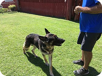 German Shepherd Dog Dog for adoption in San Diego, California - Hudson