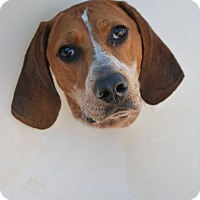 Coonhound Mix Dog for adoption in Berea, Ohio - Abby