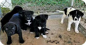 Labrador Retriever Mix Puppy for adoption in Gretna, Florida - Pups