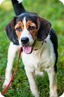 Beagle/Spaniel (Unknown Type) Mix Dog for adoption in Miami, Florida - Sparkie (Beagle Mix)