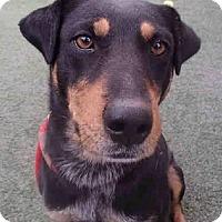 Doberman Pinscher/Rottweiler Mix Dog for adoption in Tucson, Arizona - Sassy / Courtesy Posting
