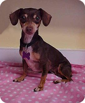 Dachshund/Chihuahua Mix Dog for adoption in Dahlgren, Virginia - Darby - 8 lbs