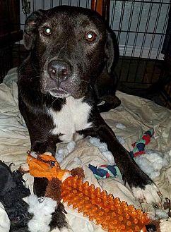 Labrador Retriever Mix Dog for adoption in Houston, Texas - Hulk