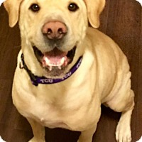 Labrador Retriever/Bloodhound Mix Dog for adoption in Fort Worth, Texas - Duke