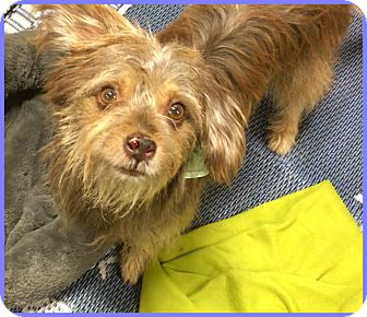 Silky Terrier/Terrier (Unknown Type, Small) Mix Dog for adoption in Phoenix, Arizona - Rizzo