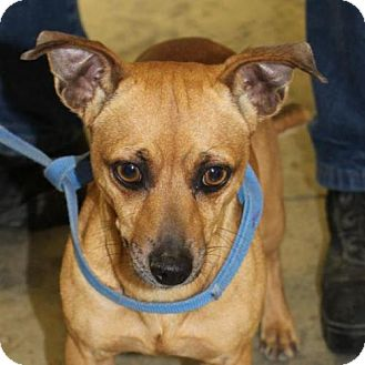 Chihuahua Mix Dog for adoption in Austin, Texas - Lucky