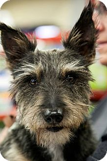 Scottie, Scottish Terrier Dog for adoption in Tijeras, New Mexico - Zing