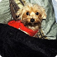 Yorkie, Yorkshire Terrier Dog for adoption in Madisonville, Tennessee - Tula