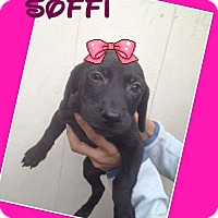 Adopt A Pet :: Soffie - LAKEWOOD, CA