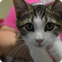 Domestic Shorthair Cat for adoption in South Haven, Michigan - Brad