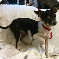 Adopt A Pet :: Bella - Phoenix, AZ