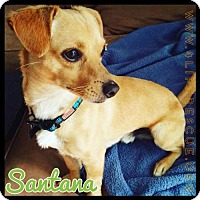 Adopt A Pet :: Santana - Orange, CA