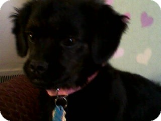 Cavalier King Charles Spaniel/Terrier (Unknown Type, Small) Mix Puppy for adoption in Richmond, Virginia - Princess Mo