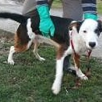 Australian Shepherd Mix Dog for adoption in Prestonsburg, Kentucky - hankie