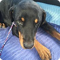 Adopt A Pet :: Karma - Las Vegas, NV