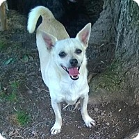 Chihuahua/Terrier (Unknown Type, Medium) Mix Dog for adoption in Pearisburg, Virginia - Eli