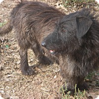 Scottie, Scottish Terrier Mix Dog for adoption in Buchanan Dam, Texas - Shaggy