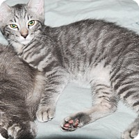 Adopt A Pet :: Prince Fuzzy Paws - Phoenix, AZ