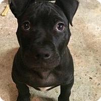 Adopt A Pet :: Comet - Nanuet, NY