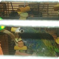 Adopt A Pet :: Zazu - Villa Park, IL