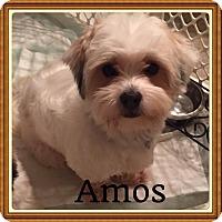 Adopt A Pet :: Amos - LEXINGTON, KY
