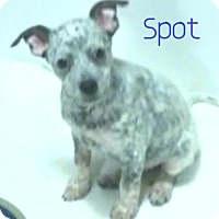 Adopt A Pet :: Spot - House Springs, MO