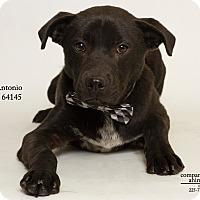 Adopt A Pet :: Antonio - Baton Rouge, LA