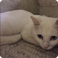 Domestic Shorthair Cat for adoption in Forest Hills, New York - Snowflake