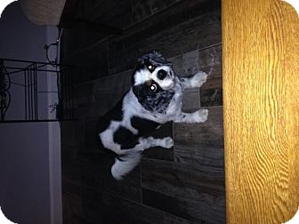Cavalier King Charles Spaniel Dog for adoption in Crestview, Florida - Beatrice