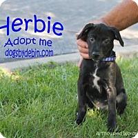 Adopt A Pet :: Herbie - Kansas City, MO