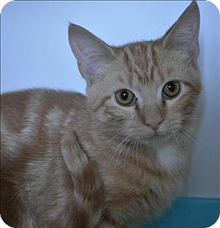 Domestic Shorthair Cat for adoption in Hyde Park, New York - Fiyero