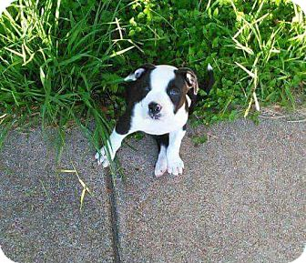 Pit Bull Terrier Mix Puppy for adoption in Allen, Texas - Panda