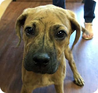 Boxer Mix Puppy for adoption in Chicago, Illinois - Filbert
