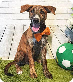 Labrador Retriever Mix Puppy for adoption in Castro Valley, California - Qubie