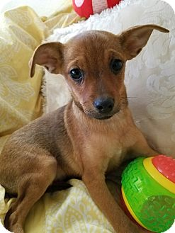 Silky Terrier Mix Puppy for adoption in Los Angeles, California - Chase