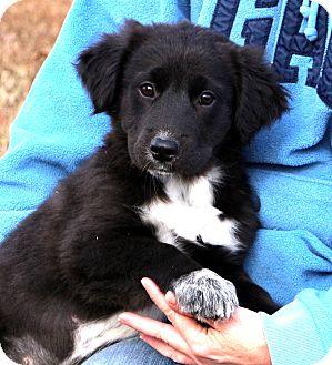 Australian Shepherd/Labrador Retriever Mix Puppy for adoption in Glastonbury, Connecticut - Destiny~adopted!