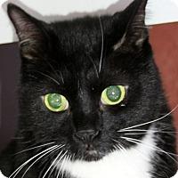 Adopt A Pet :: Shadow - Sarasota, FL