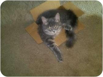 American Shorthair Kitten for adoption in Simpsonville, South Carolina - Little Bit
