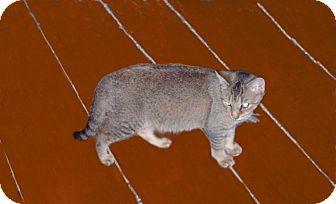 Domestic Shorthair Kitten for adoption in Hampton, Connecticut - Sally Mae